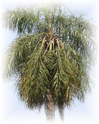 Unos de los fieles de Árvore de Palma