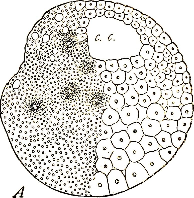 Imagen: ilustración de la página 334 de Annales des sciences naturelles (1834) de Henri Milne-Edward et al.; fuente: Internet Archive. https://www.flickr.com/photos/internetarchivebookimages/18017817758/in/dateposted/